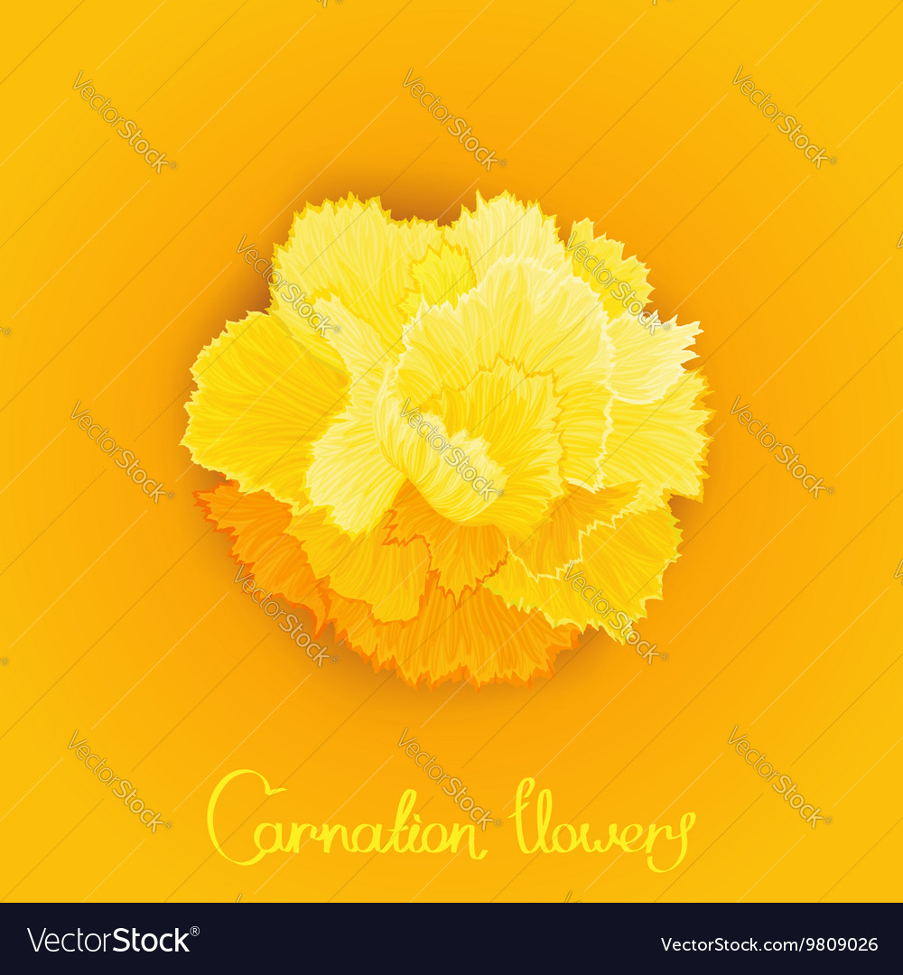 Flower Of Carnation Royalty Free Vector Image Vectorstock