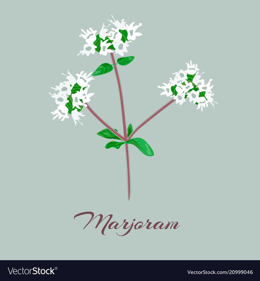 Marjoram or origanum majorana