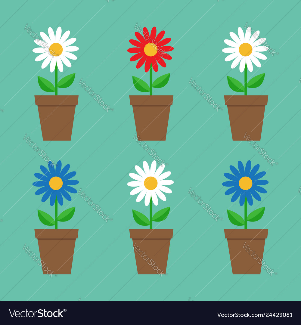 Daisy chamomile in pot cute flower plant on