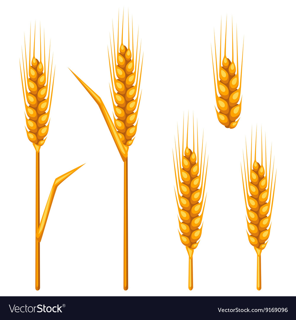 Ears of wheat barley or rye Agricultural image
