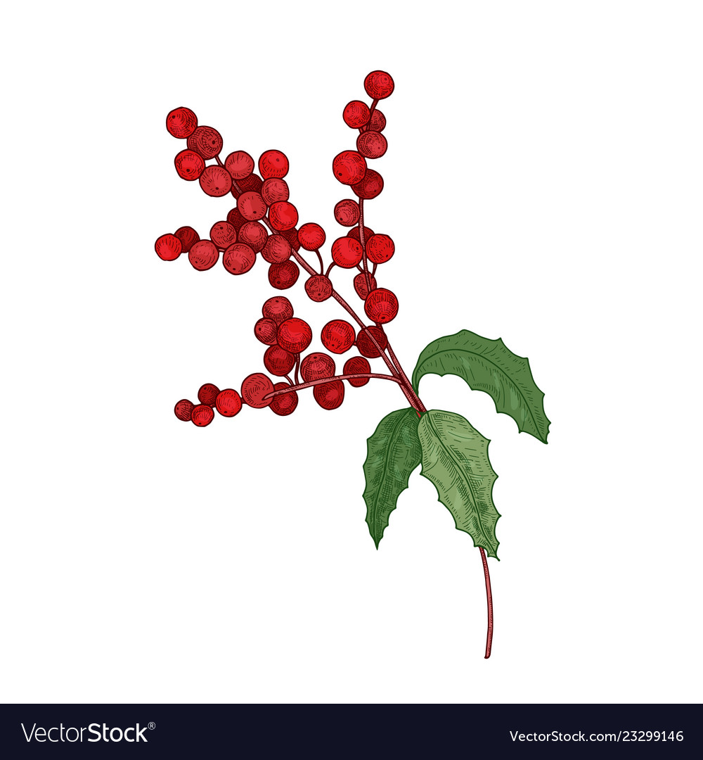 Colored detailed botanical drawing of holly branch