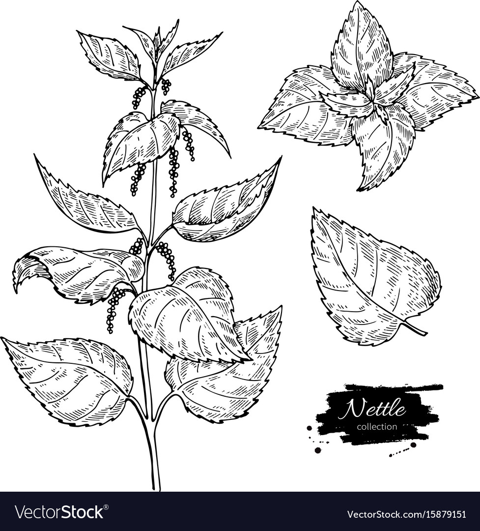 Nettle drawing isolated medical plant with