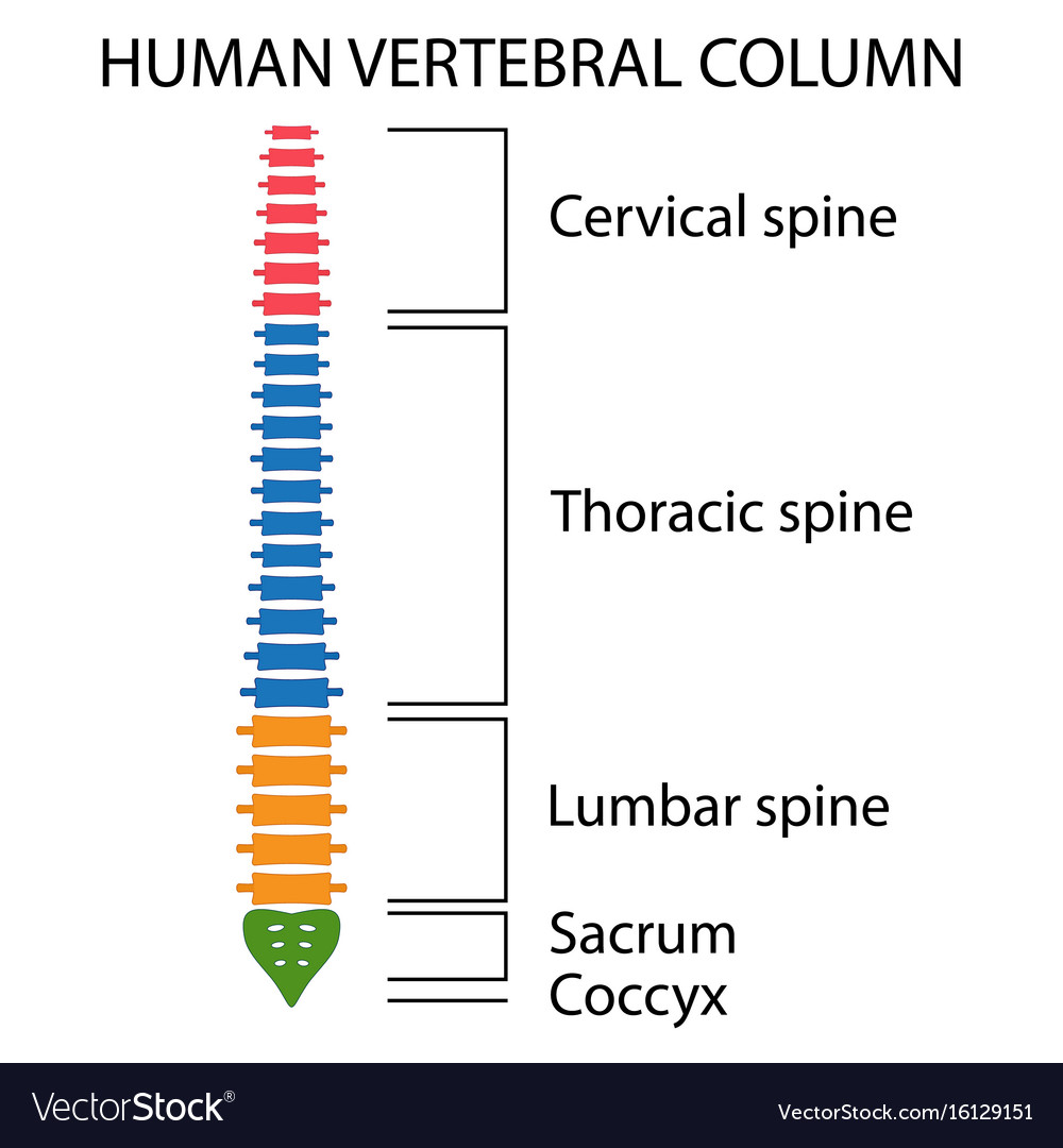 vertebral column spine structure royalty free vector image