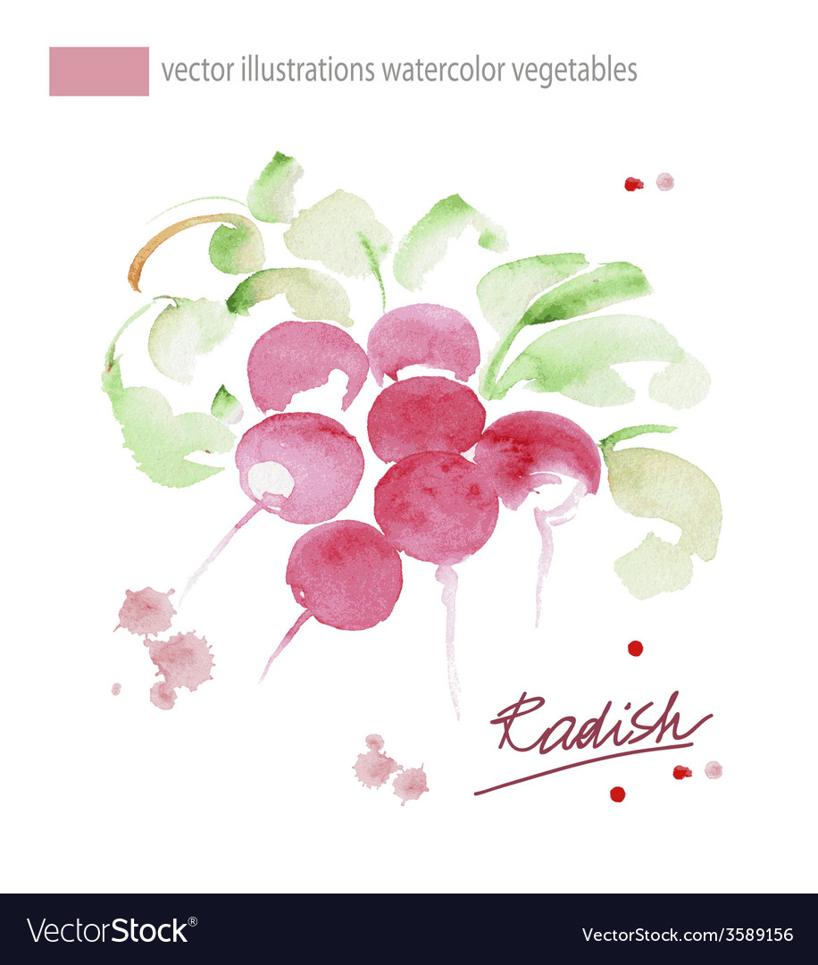 Radish with leaf Hand drawn watercolor painting