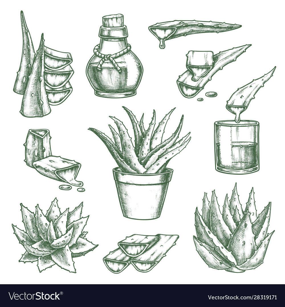 Set isolated aloe vera sketch and hand drawn