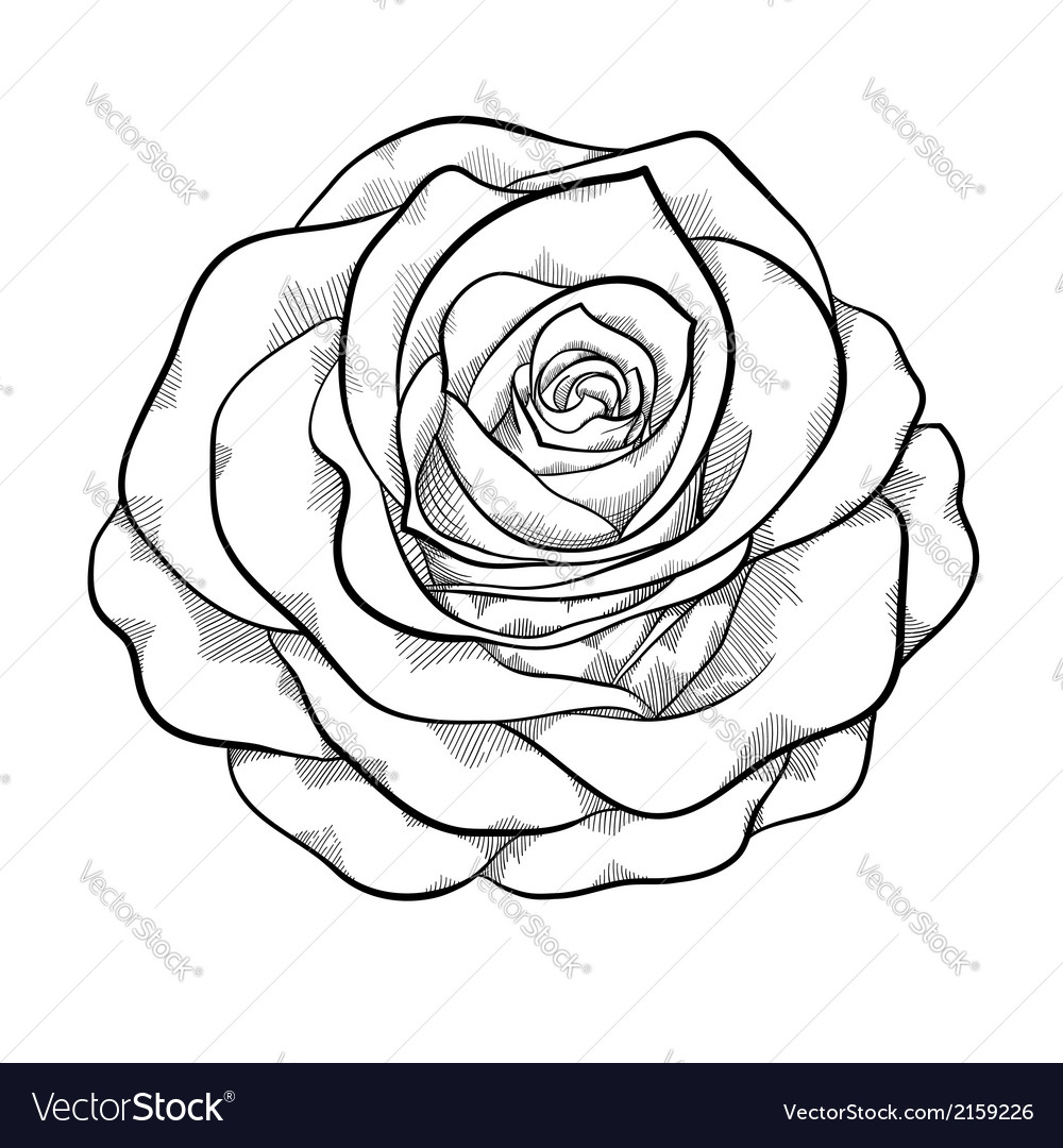 Black And White Rose Isolated Royalty Free Vector Image