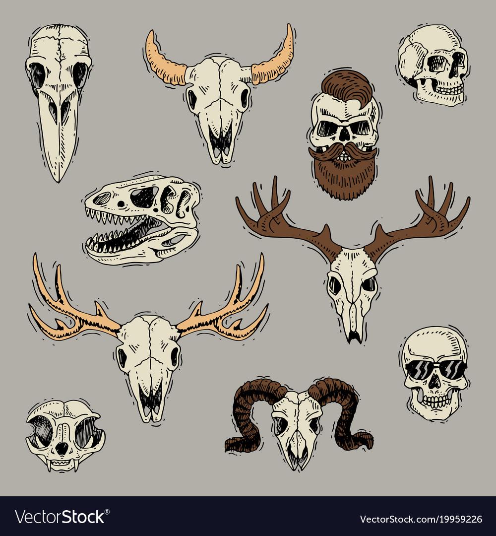 Skulls boned head of animals of bull goat