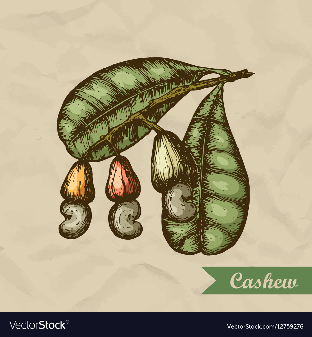 Cashew branch with leaves and nuts Engraving