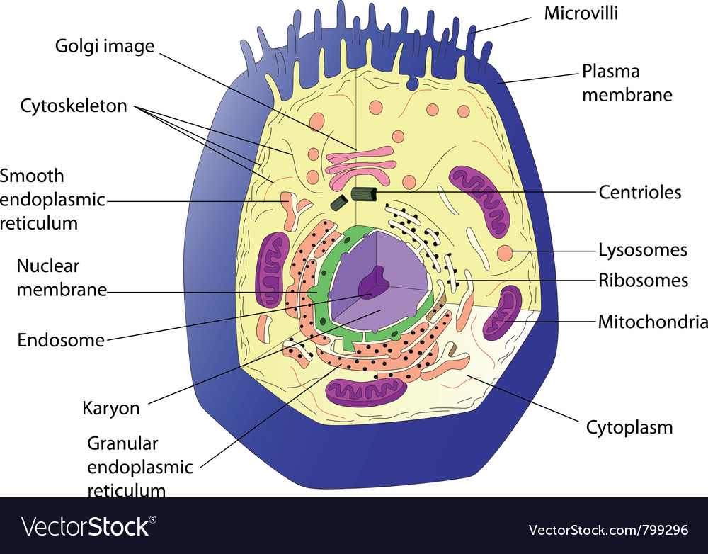 Anatomy of an animal cell educational poster Vector Image