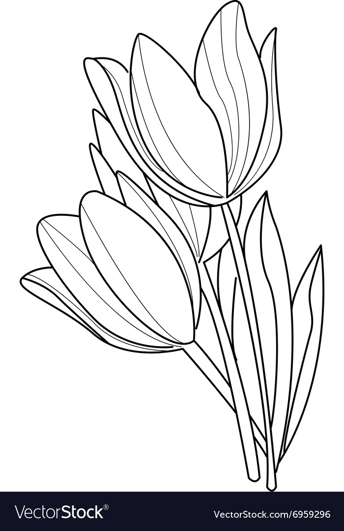 tulip flowers sketch royalty free vector image