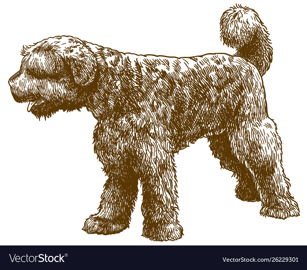 Engraving Portuguese Water Dog Royalty Free Vector Image