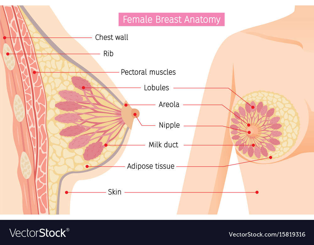 Cross section of female breast anatomy Royalty Free Vector