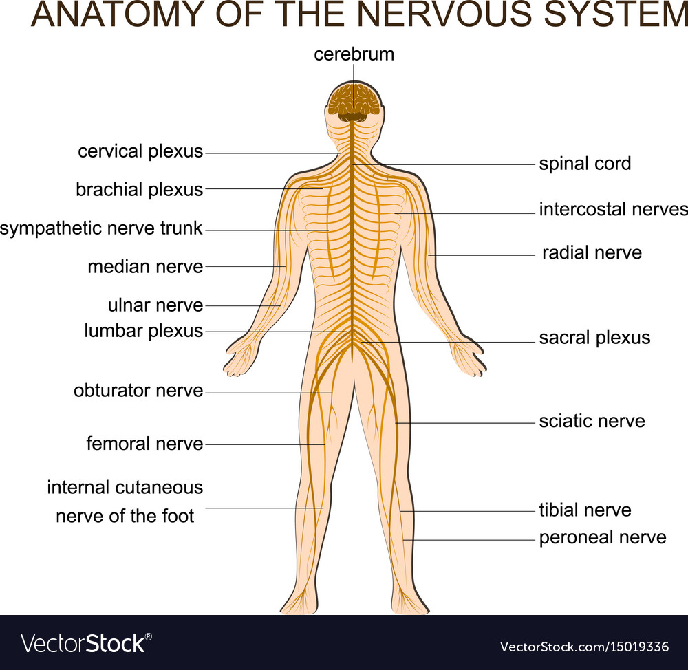 Anatomy Of The Nervous System Royalty Free Vector Image