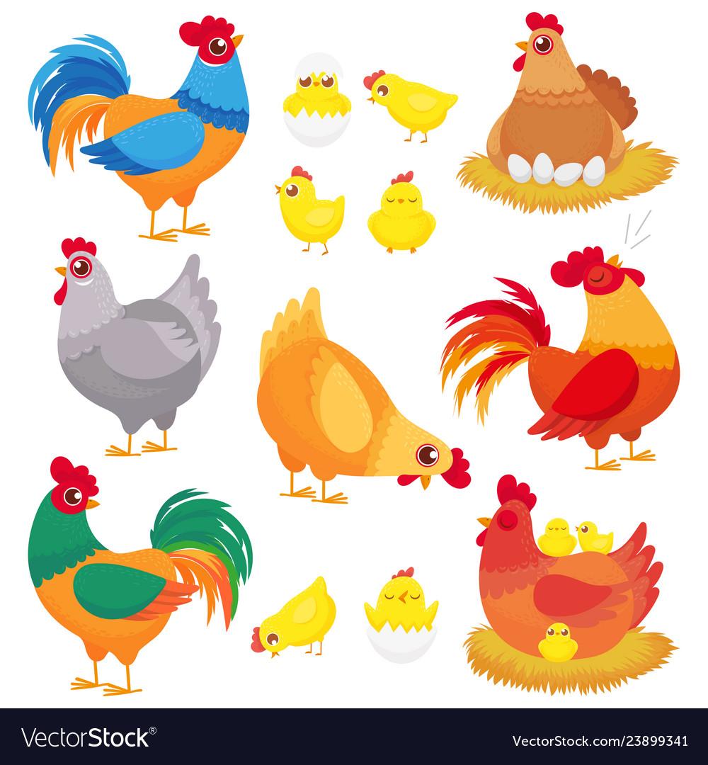 Cute domestic chicken farm breeding hen poultry