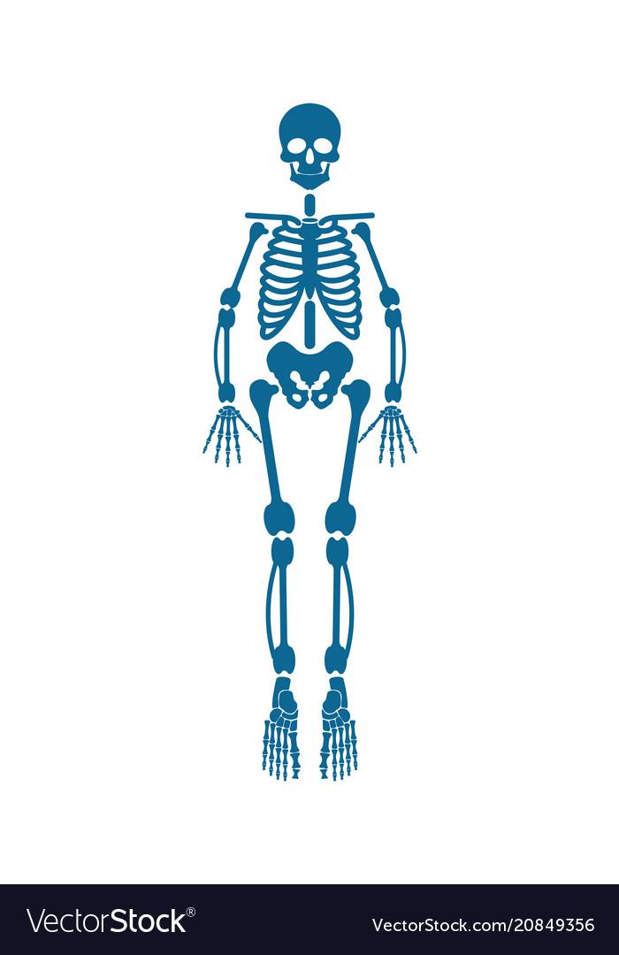 Human skeleton of blue color