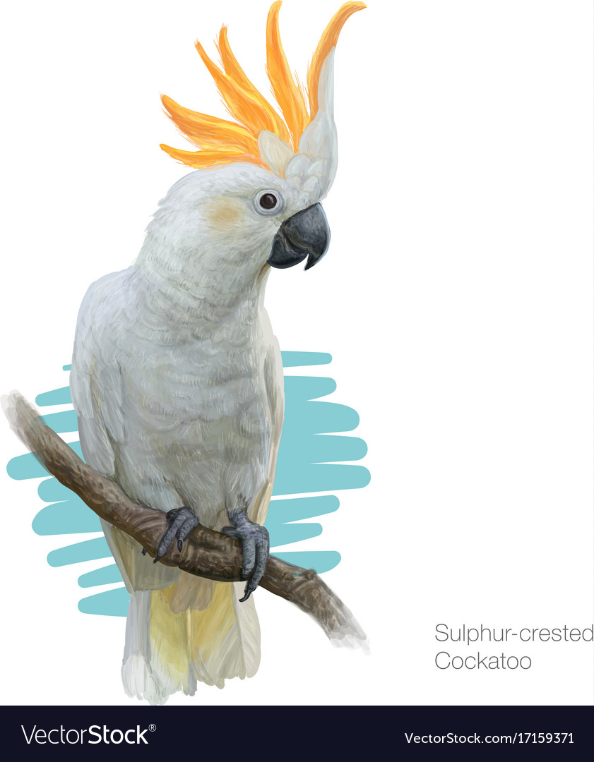 Sulphur-crested cockatoo detailed