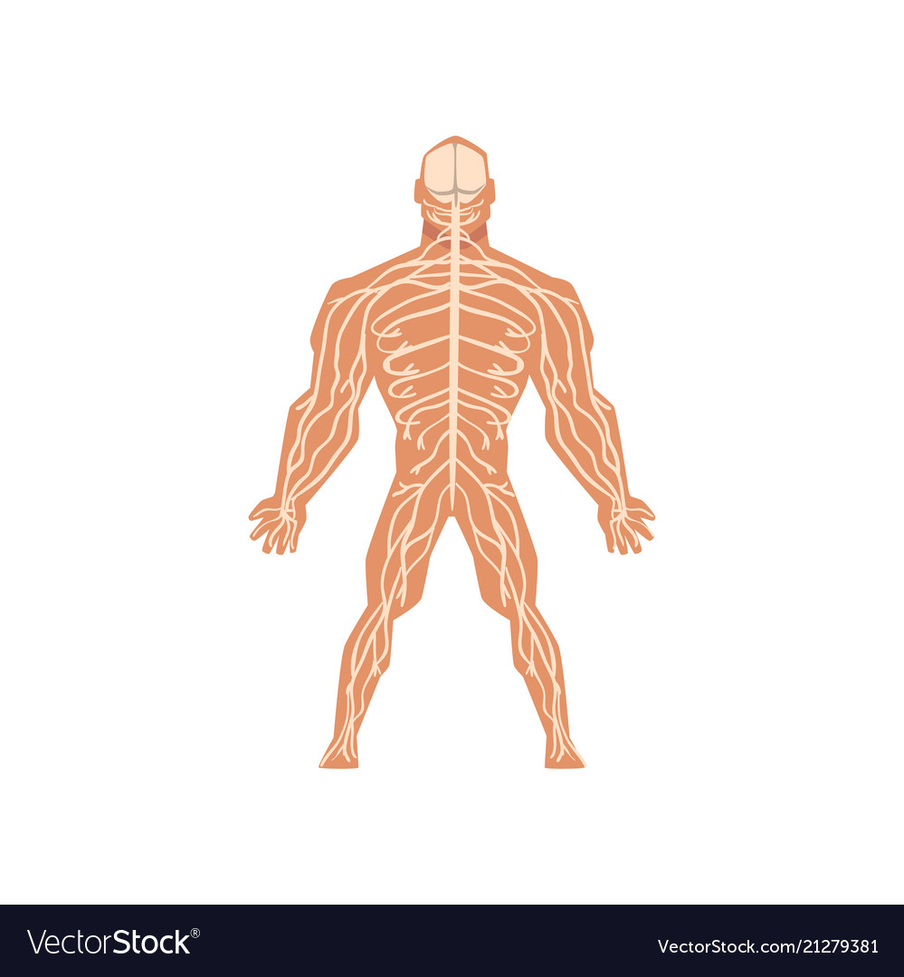 Human Biological Nervous System Anatomy Of Human Vector Image