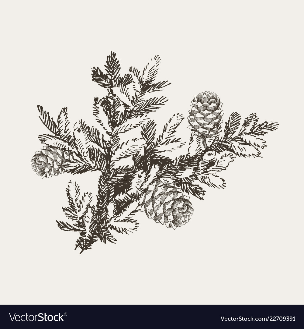 Fir tree branches with cone