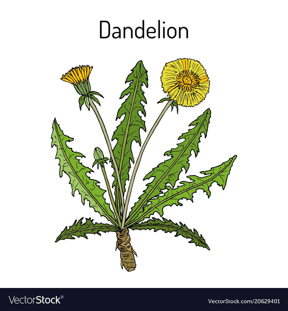 Common dandelion taraxacum officinale medicinal