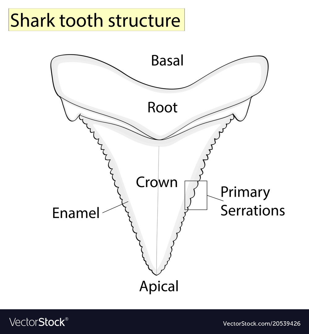 Archaeology ichthyology structure tooth shark vector image