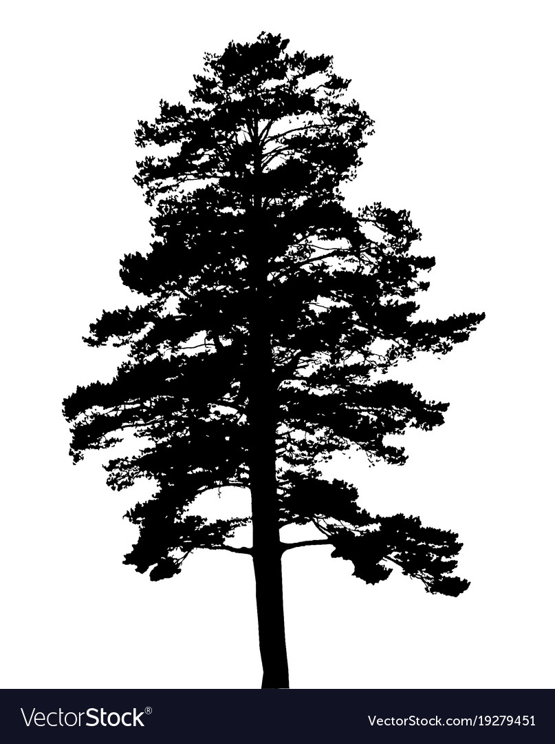 silhouette of fir tree template for business card vector image