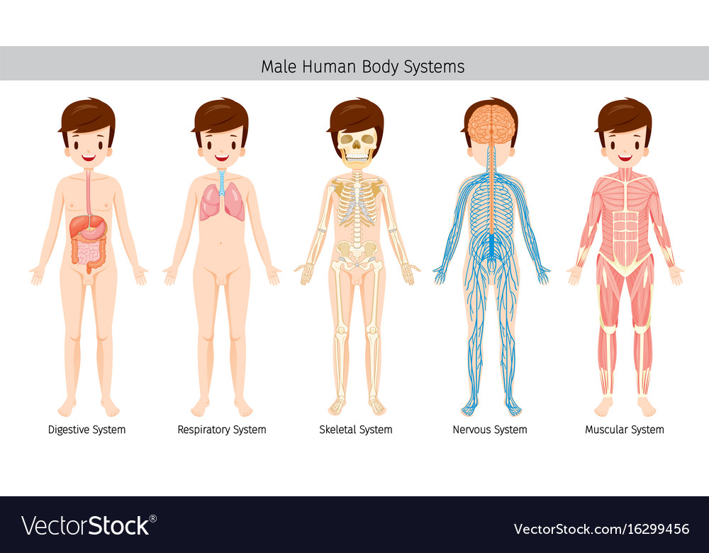 Male Human Anatomy Body Systems Royalty Free Vector Image