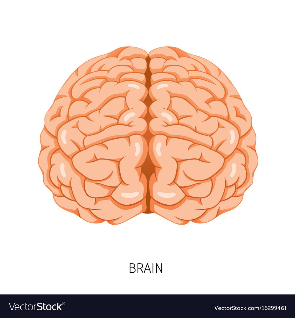 Brain Human Internal Organ Diagram Royalty Free Vector Image