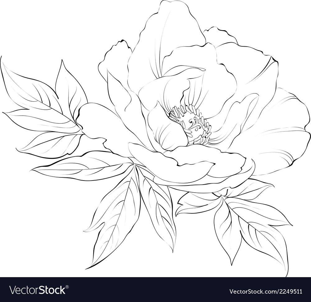 Ink Painting of Peony isolated on white vector image