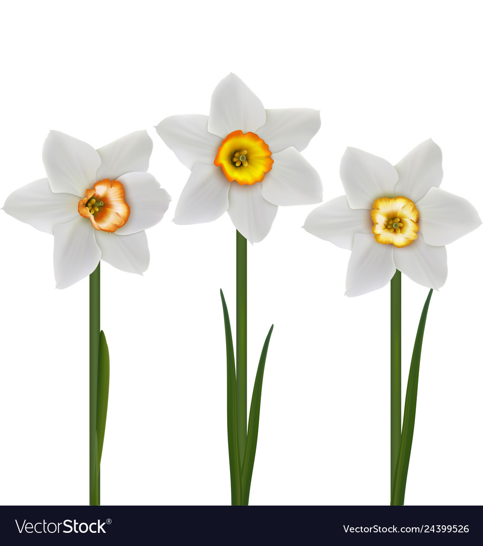 White daffodils narcissus poeticus 3d