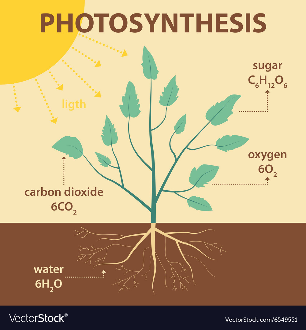 Schematic diagram photosynthesis plant royalty free vector schematic diagram photosynthesis plant vector image ccuart Gallery