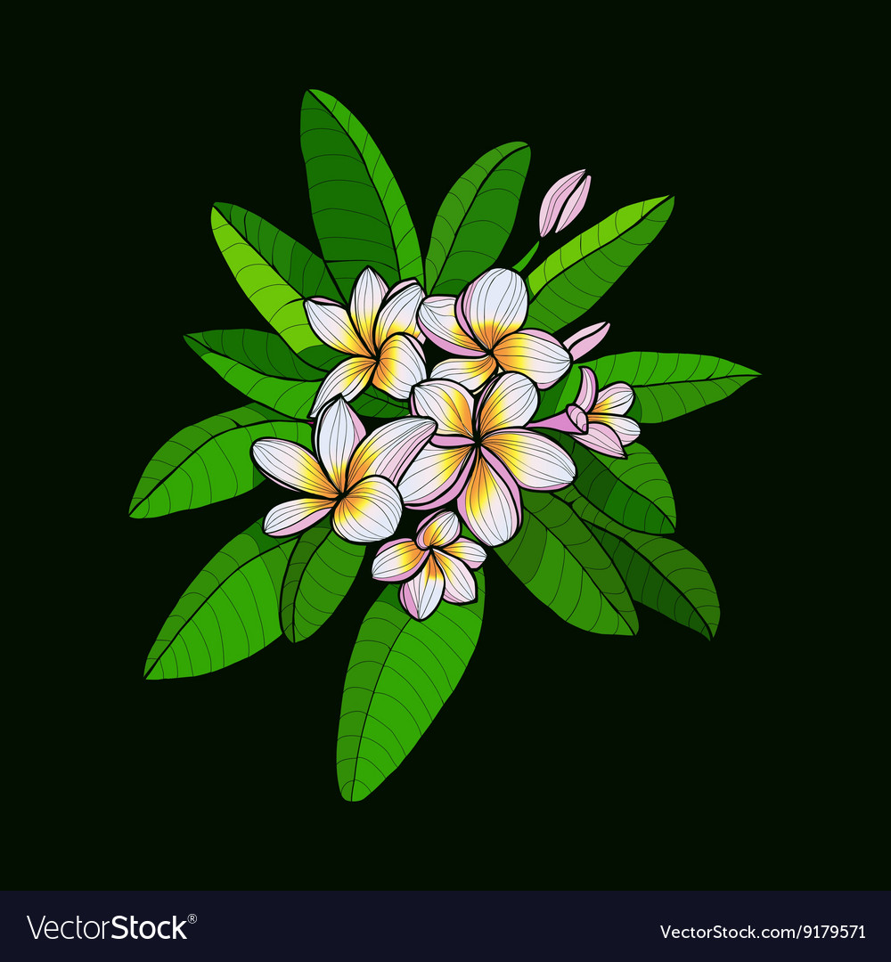 Hawaii flower Frangipani and leaves white Plumeria vector image