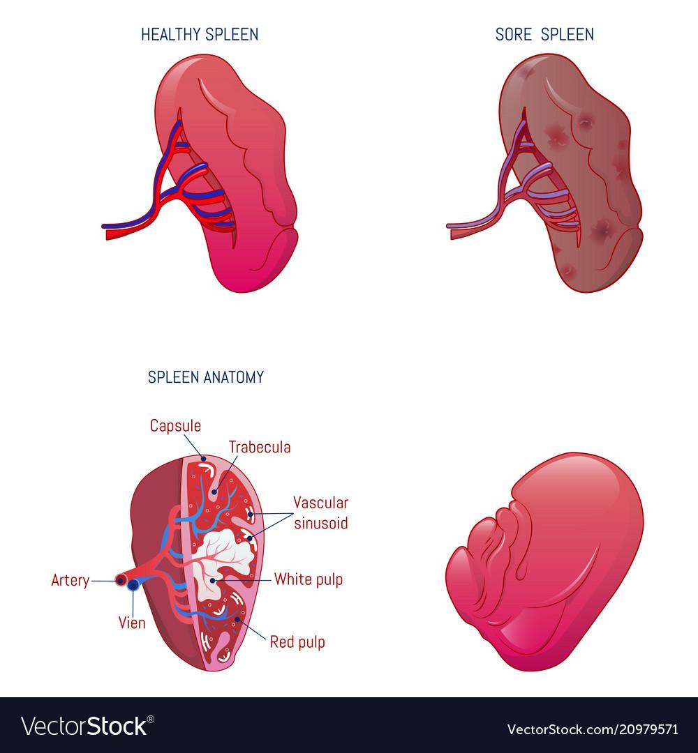 Spleen milt anatomy icons set cartoon style vector image