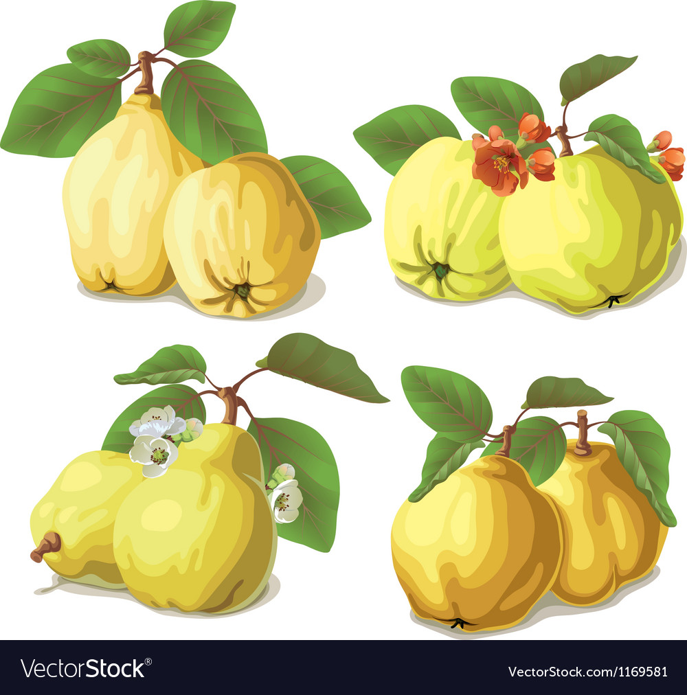 Set of ripe quinces vector image