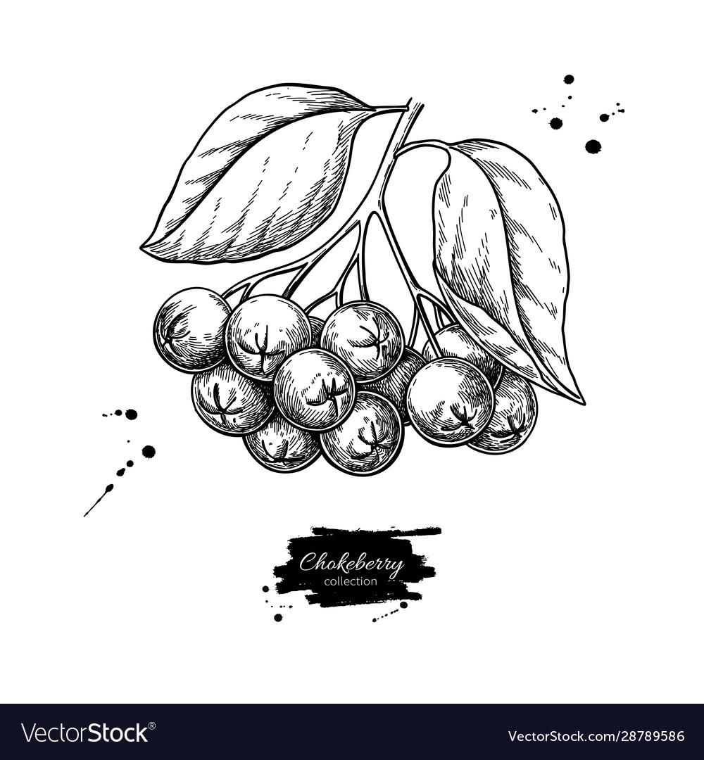 Chokeberry drawing hand drawn botanical