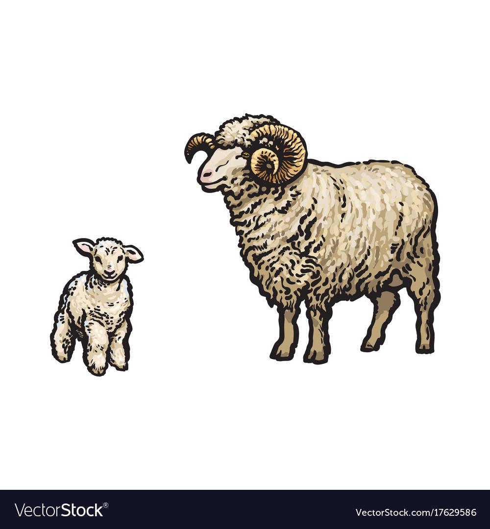 Sketch cartoon style sheep and lamb set