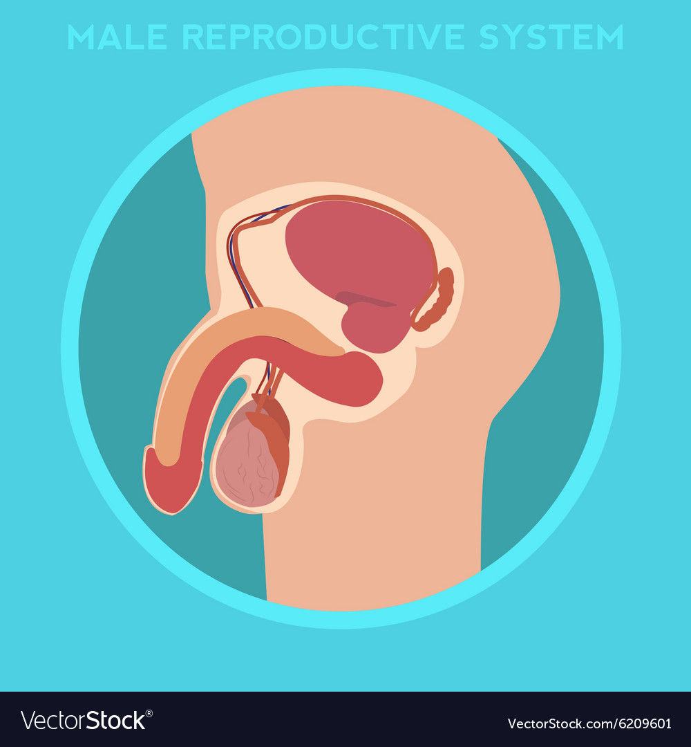 Diagram Of The Male Reproductive System Royalty Free Vector