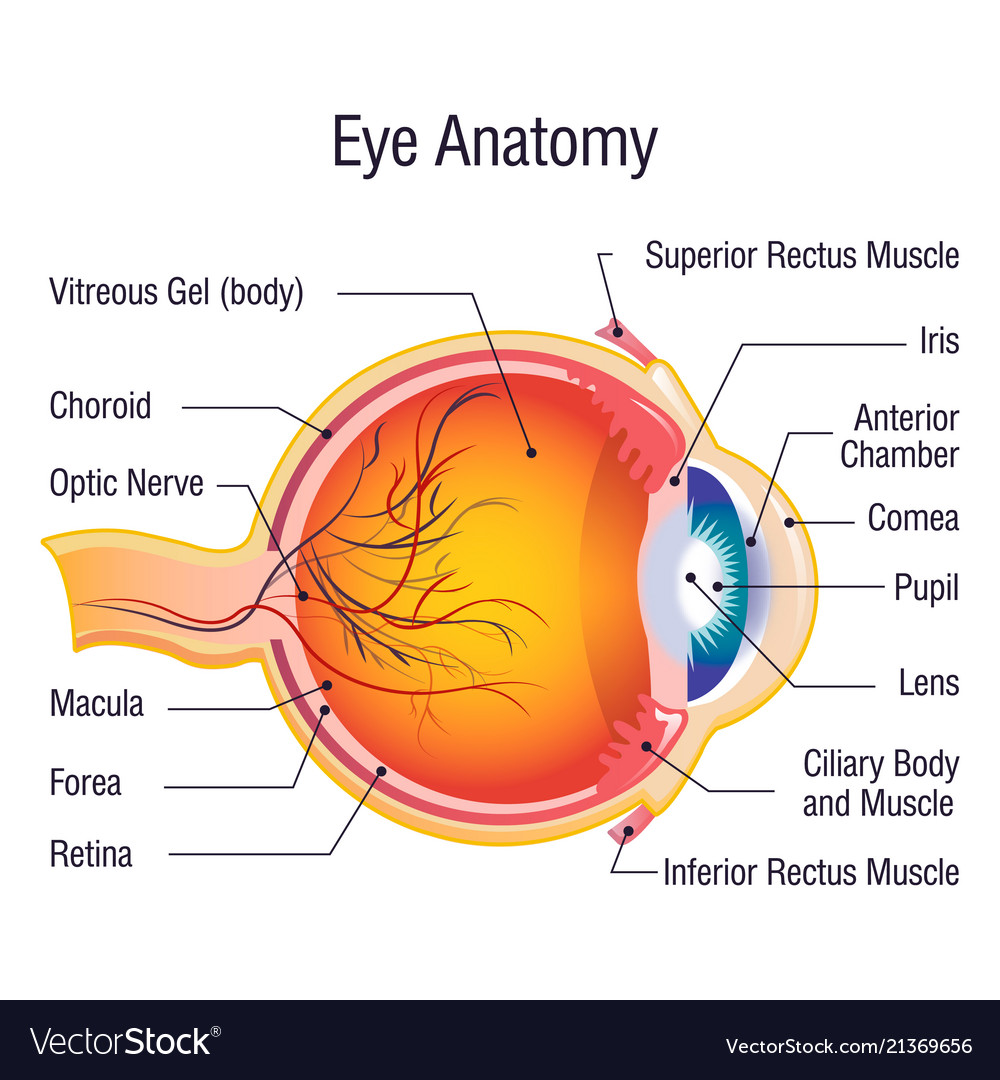 Eye anatomy info concept background cartoon style Vector Image