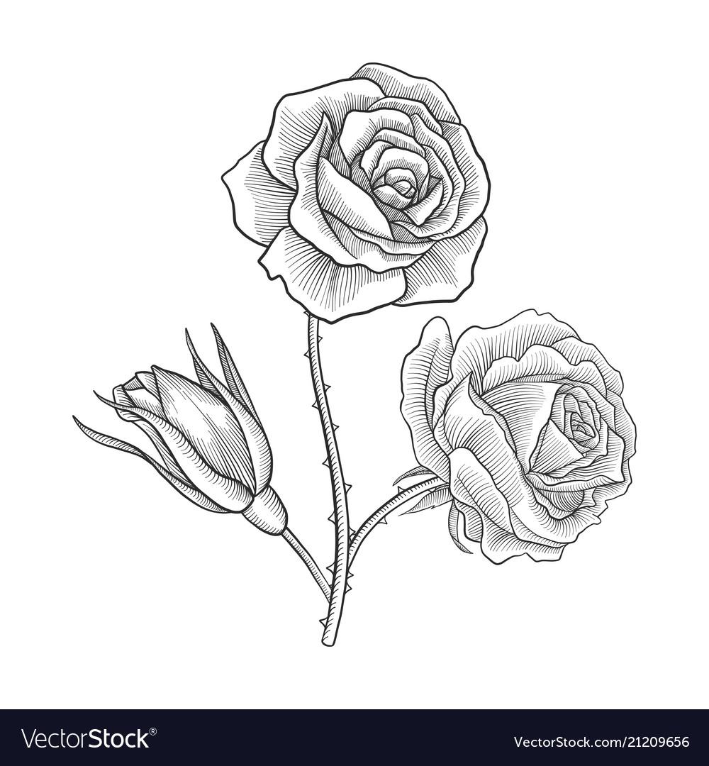 Vintage Drawing Flower Of Rose Royalty Free Vector Image