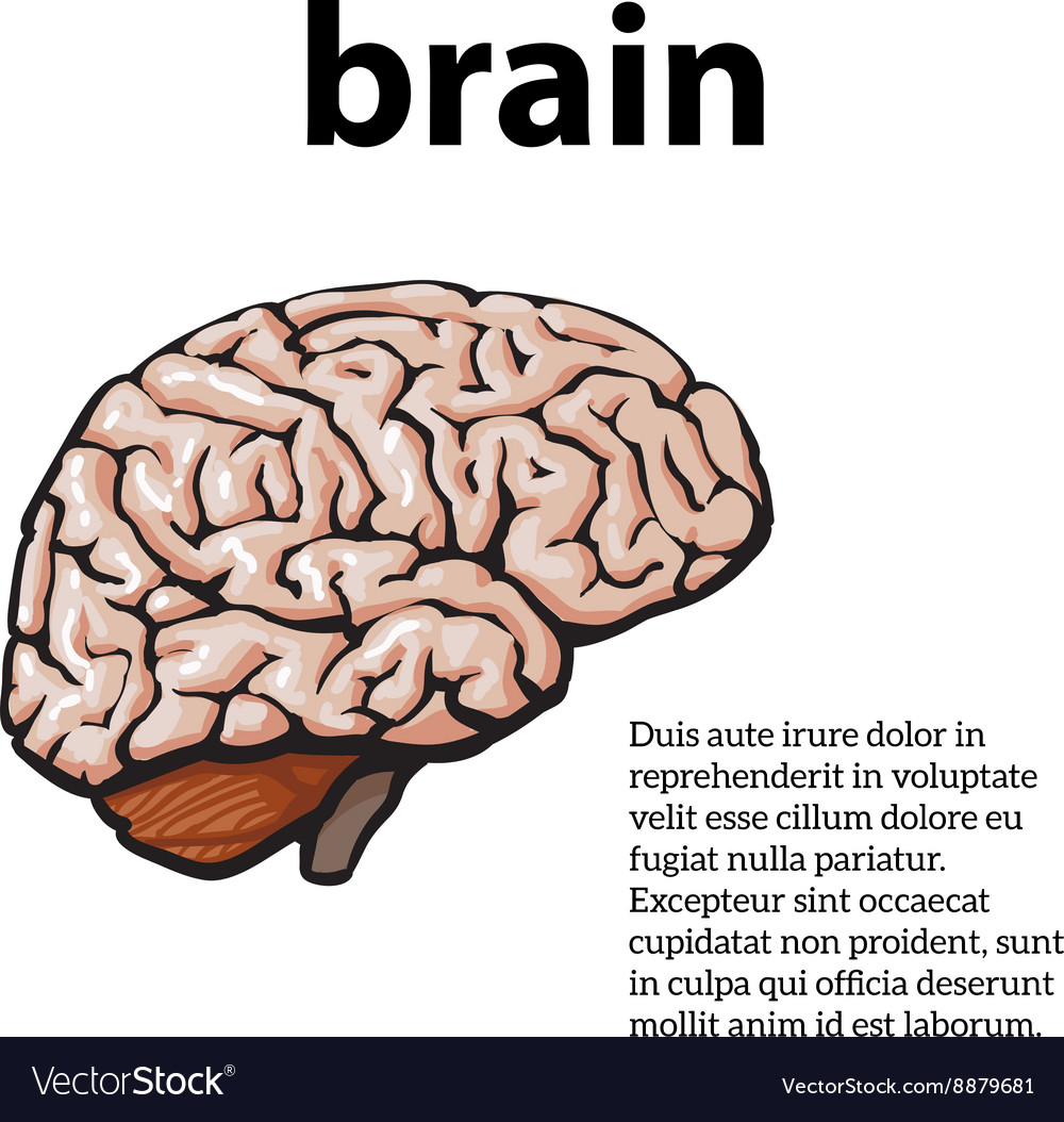Color Close Up Of A Human Brain Royalty Free Vector Image