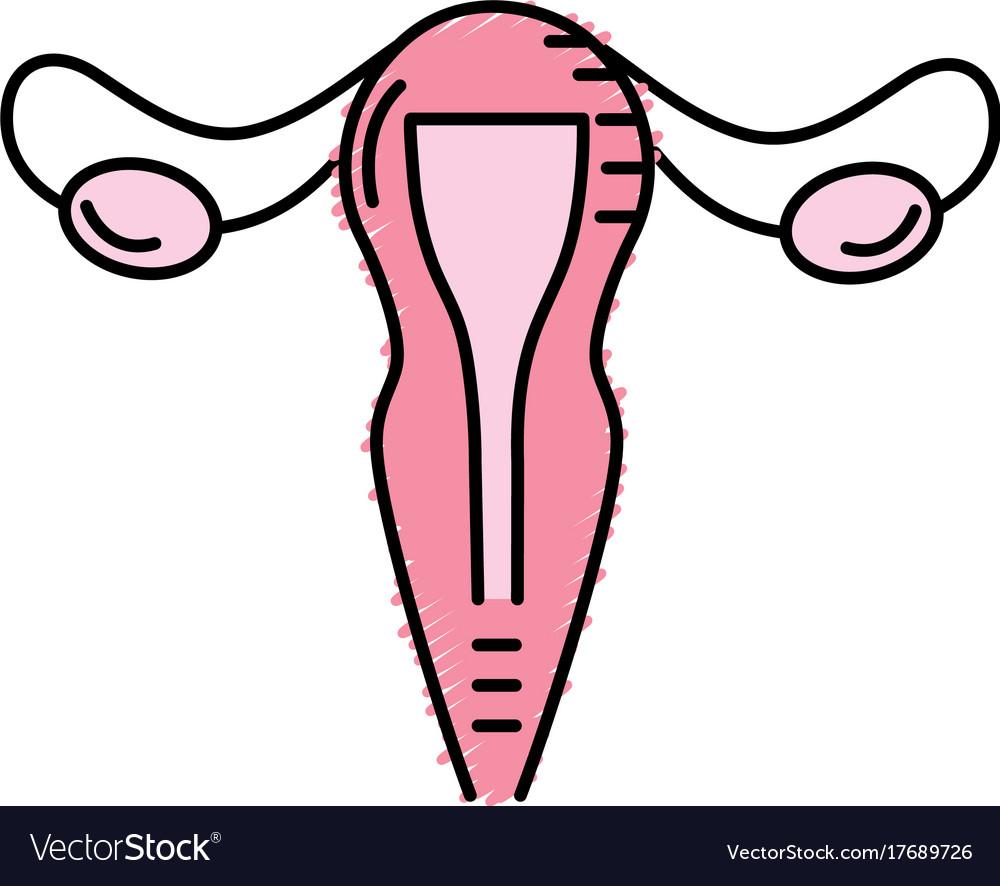 Uterus Fallopian Tubes Anatomy Female Royalty Free Vector