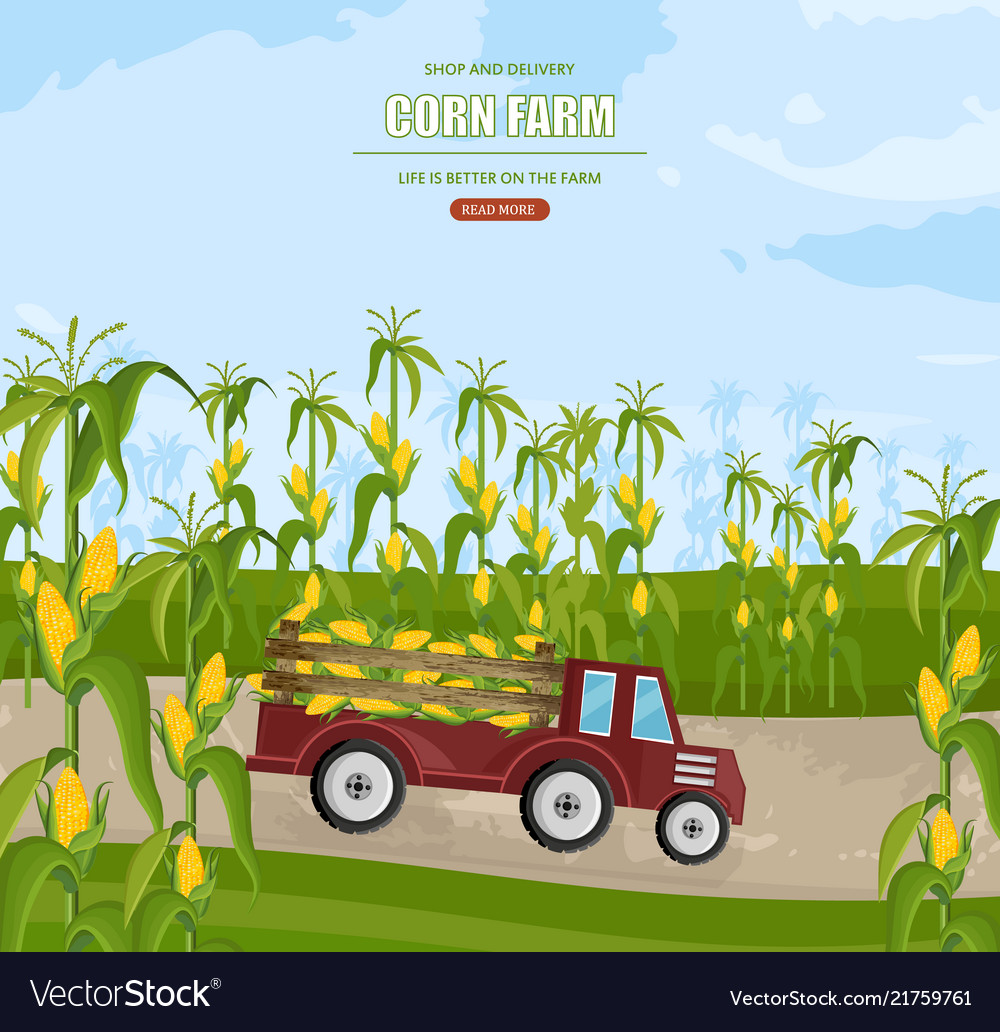 Truck with corn harvest maize fields