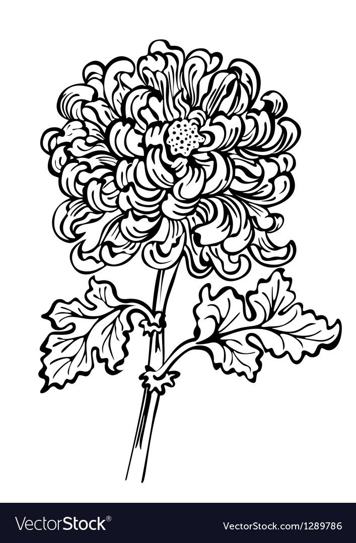 Chrysanthemum black and white vector image