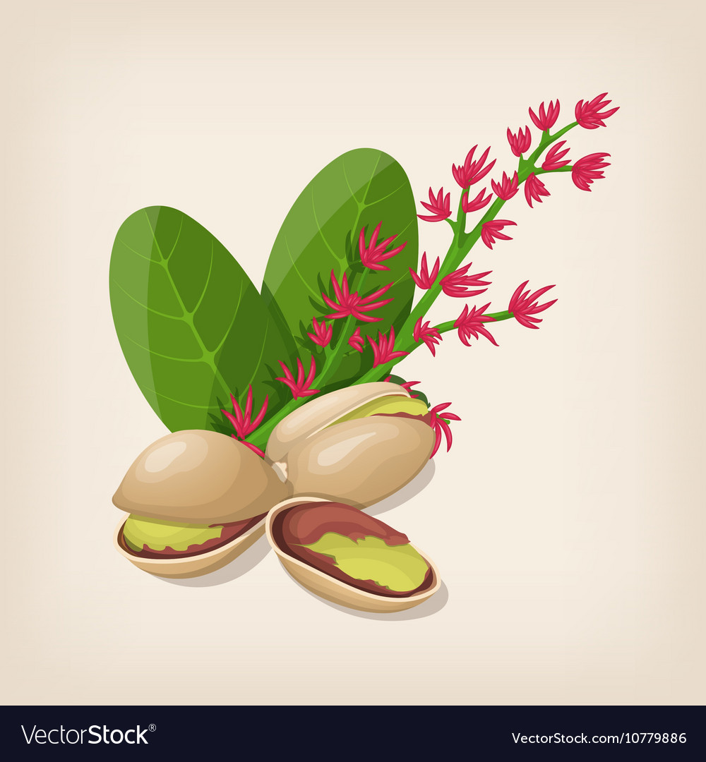 Pistachio nut in shell flower and leaves