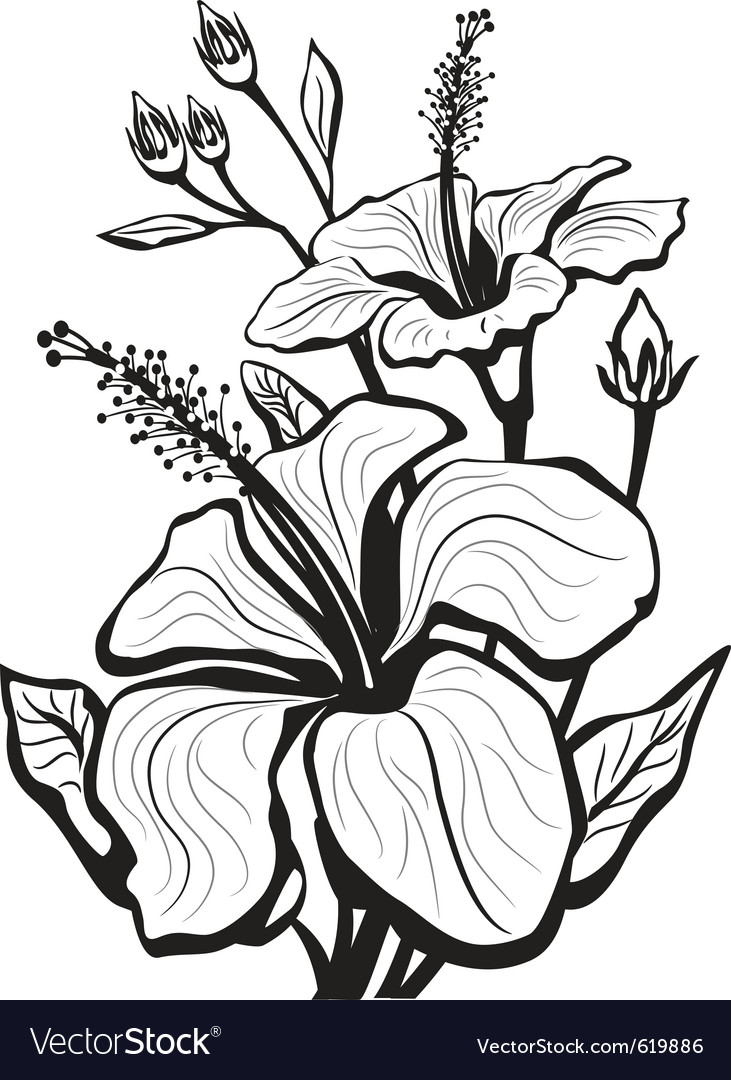 Sketch of hibiscus flowers
