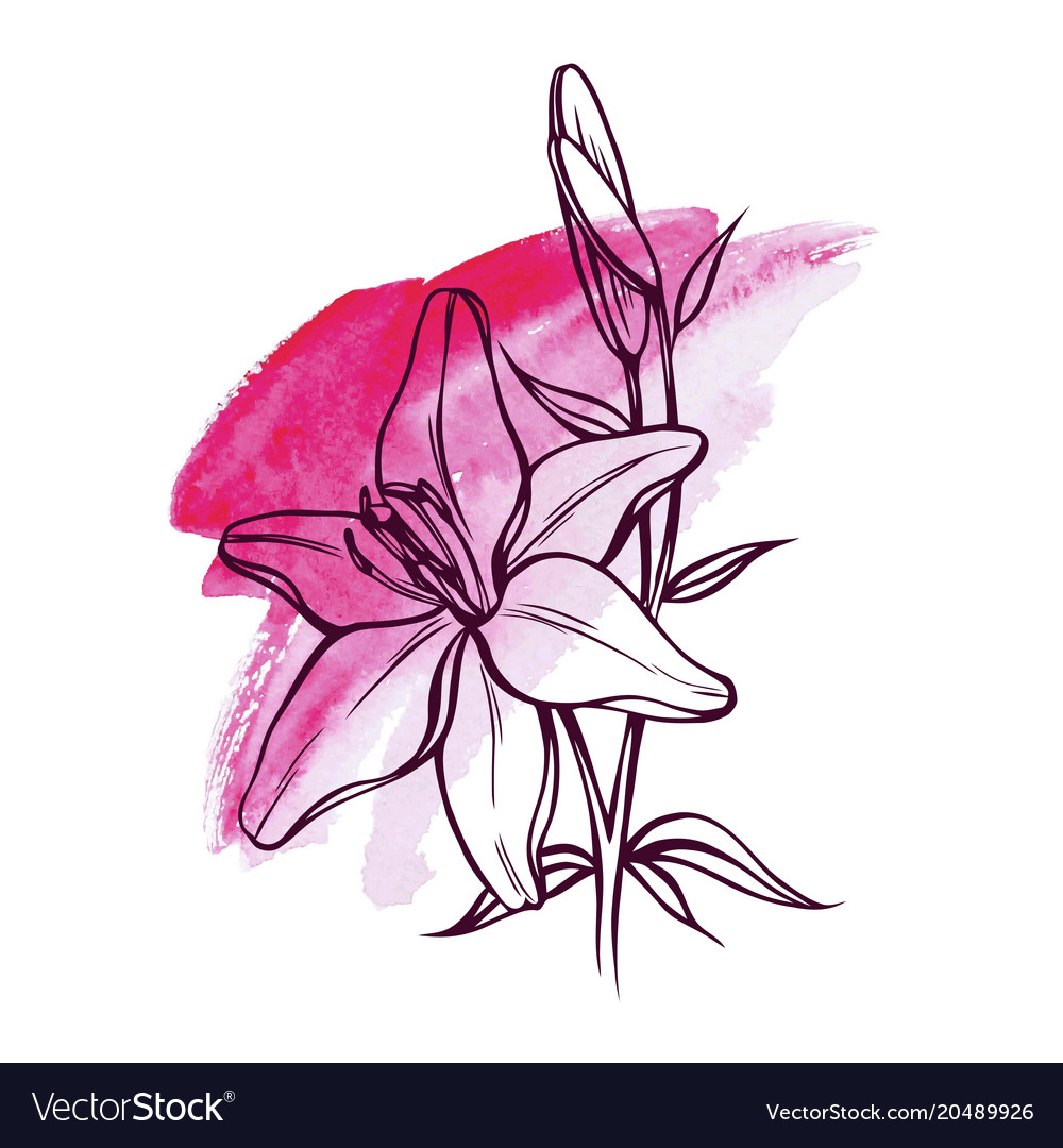 Lily Flowers Royalty Free Vector Image Vectorstock