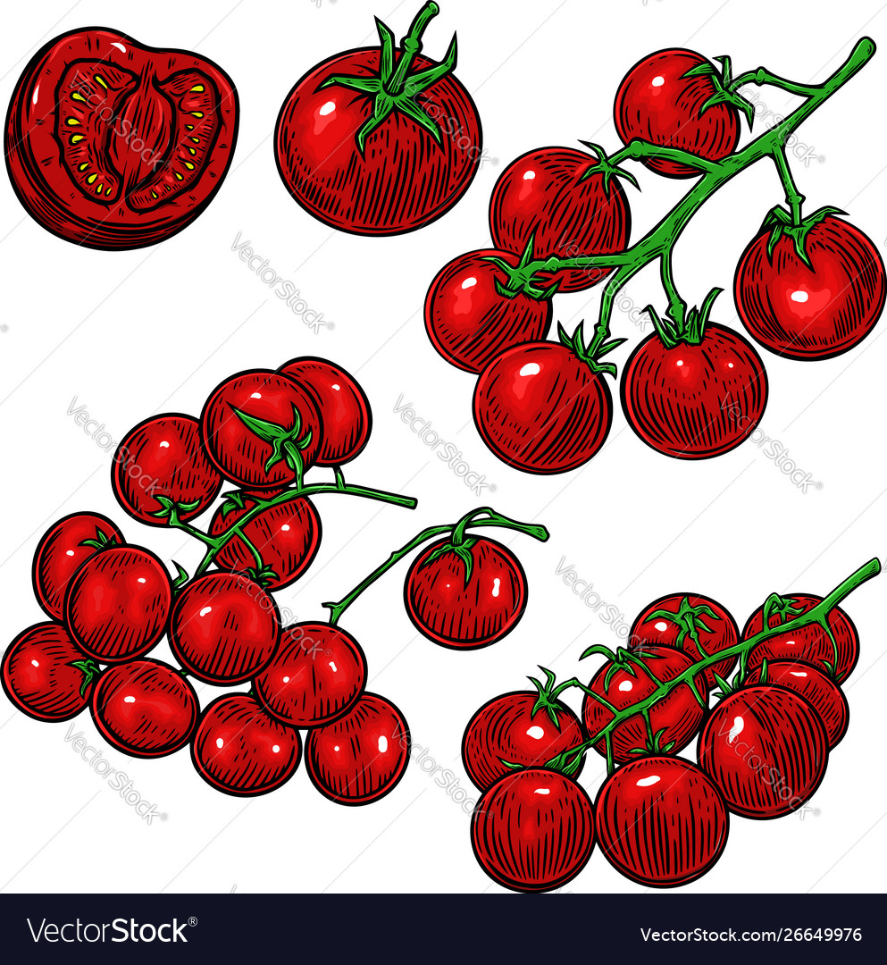 Hand drawn tomatoes design element for poster