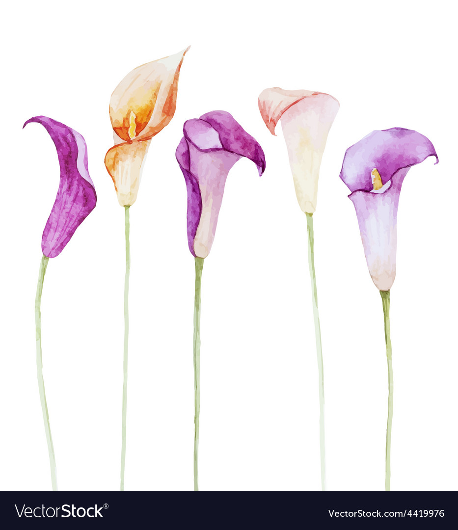 nice watercolor calla flowers royalty free vector image