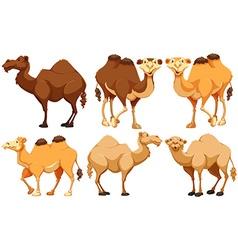 Camels vector