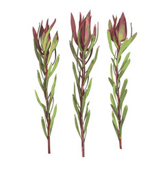 red green leaves leucadendron protea vector image