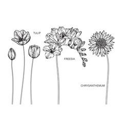 Set tulip freesia chrysanthemum flower and vector